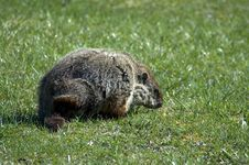 Free Ground Hog Royalty Free Stock Photography - 101077