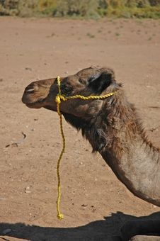 Free Camel With Yellow Rope Stock Photography - 101392