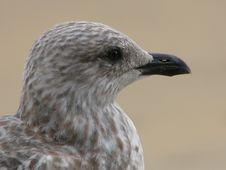 Free Seagull Stock Image - 101421