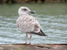 Free Seagull Stock Images - 101424