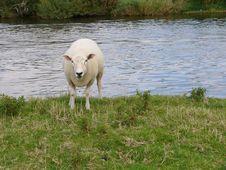 Free Sheep Royalty Free Stock Image - 102406