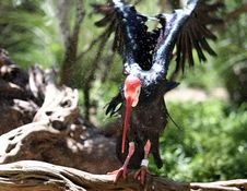 Free Northern Bald Ibis Stock Image - 102591