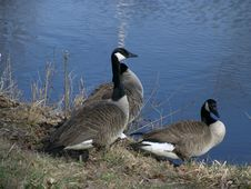 Three Canadian Geese Stock Photos