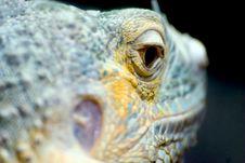 Free Iguana Eye Stock Photo - 102990