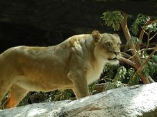 Free Lioness Royalty Free Stock Images - 103309