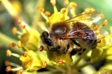 Free Bee Royalty Free Stock Photos - 103488