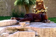 Free Lazy Orangutan Royalty Free Stock Image - 103496