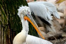 Free Pelican Royalty Free Stock Photos - 103528