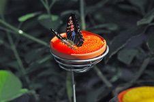 Free Butterfly Feeding Stock Photos - 104353