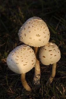 Free Three Mushrooms Stock Photos - 104763
