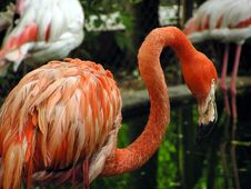 Free Flamingo Royalty Free Stock Photography - 105377