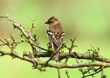 The Female Chaffinch Stock Photography