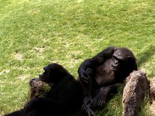 Free Lazy Ape Stock Photo - 106340
