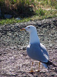 Free Lone Gull Stock Photo - 107310