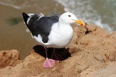 Free Sea Gull Stock Photos - 107993