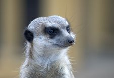 Free Meerkats Royalty Free Stock Photo - 108525