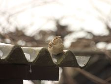 Free Sparrow On A Roof Stock Photo - 108950