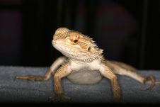 Free Lyzard Stock Images - 109044