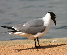 Free Sea Gull Stock Image - 109351