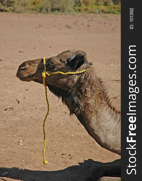 Camel with yellow rope