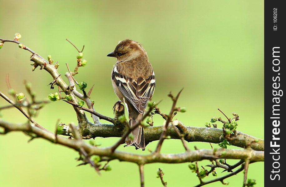 The Female Chaffinch