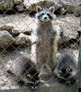 Free Racoon 2 Stock Image - 1002111