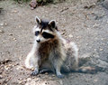 Free Racoon 5 Royalty Free Stock Images - 1002159