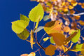 Free Birch Leaves Royalty Free Stock Image - 1002226