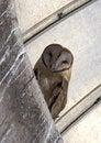 Free Barn Owl, Amish Farm, Ohio Stock Photos - 1008213