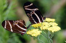 Free Zibra Colored Butterflies Stock Photo - 1000880