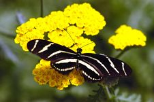 Black Butterfly On Yellow Flower Stock Photography