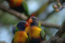 Pair Of Lorikeets Royalty Free Stock Photo
