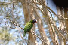 Free Rainbow Lorikeet Royalty Free Stock Photos - 1001168
