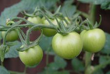 Free Green Tomatoes Stock Image - 1001651