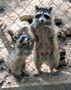 Free Racoon 8 Royalty Free Stock Photography - 1002227