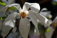 Free Magnolia Campbelli Royalty Free Stock Photo - 1002595