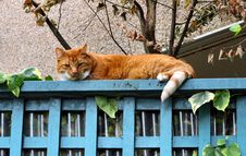 Free Tabby On Blue Fence Royalty Free Stock Image - 1002676