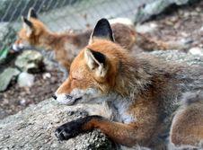 Free Fox 6 Royalty Free Stock Photos - 1002758