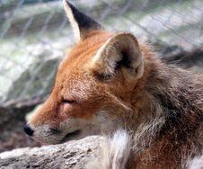 Free Fox 8 Royalty Free Stock Image - 1002826