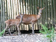 Free Deers 2 Royalty Free Stock Images - 1002939