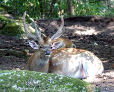 Free Deers 6 Stock Photography - 1002972