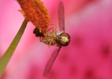 Free Hover Fly Eating Pollen Stock Photo - 1003620