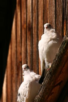 Free White Pigeon Couple Royalty Free Stock Photo - 1004075
