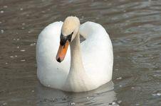 Free White Swan Stock Photos - 1004513