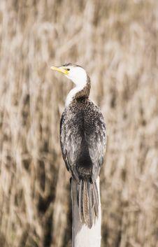 Free Cormorant Royalty Free Stock Image - 1004836