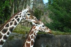 Free Giraffes Royalty Free Stock Images - 1004939