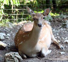 Free Deers 7 Stock Photos - 1004973