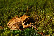 Free Frog On The Moss Royalty Free Stock Images - 1005449