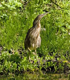 Free American Bittern Royalty Free Stock Photography - 1006087