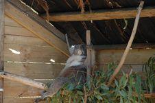 Free Lounging Koala Royalty Free Stock Photo - 1006145